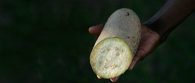 kigelia fruit