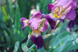 Purple Iris flower photo