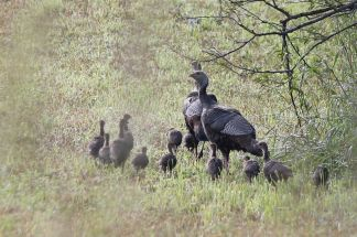 wild turkey family