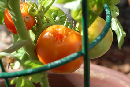 tomatobite2.jpg