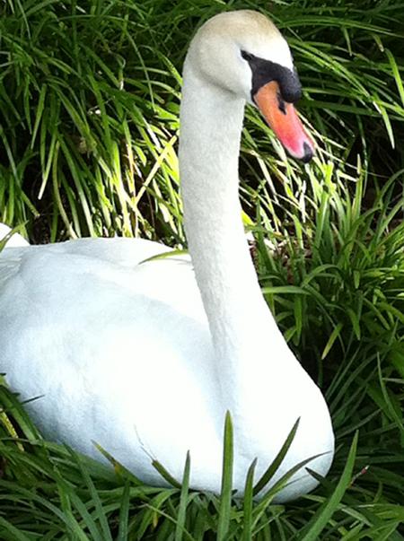 swan_white.jpg