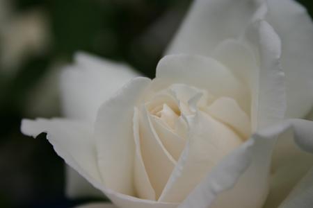 whiterose.jpg