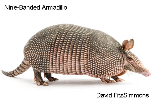 Curious Critters Two Nine-banded_Armadillo