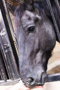 Medieval Times Close Up Andalusian