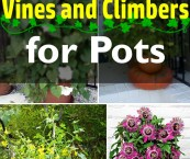 climbing plants for shade in pots