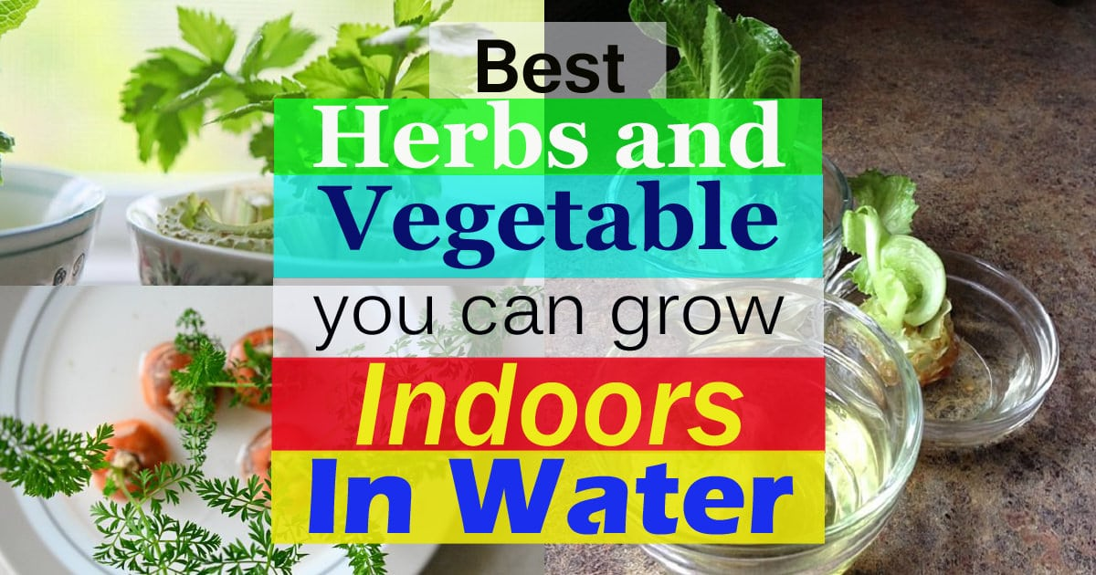 best herbs and vegetableyou can grow indoors in water2
