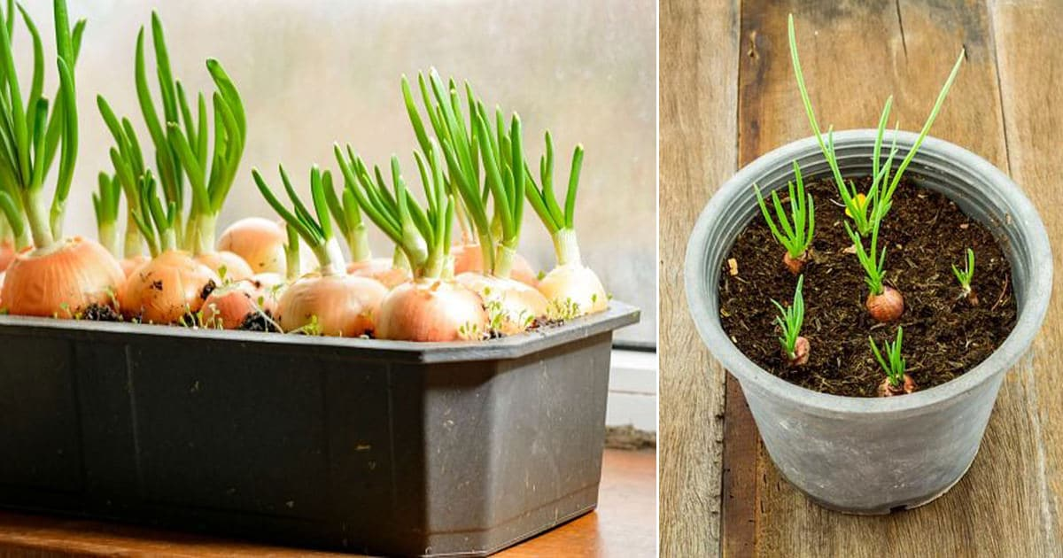 Growing Green Onions In Containers Year Round