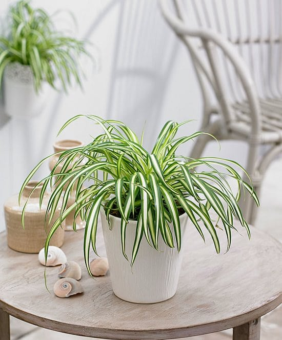 spider plant care indoors growing