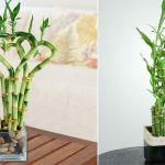 Lucky Bamboo Care Tips How To Grow It Balcony Garden Web