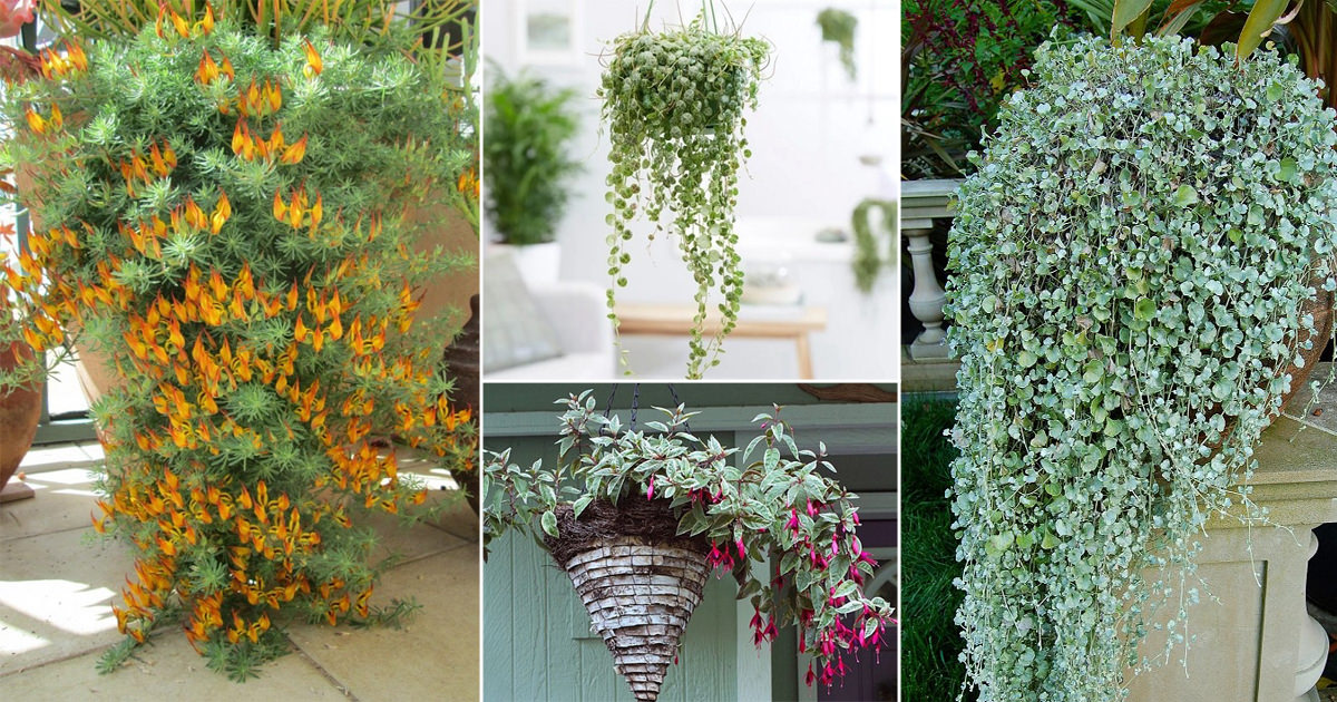 23 best trailing foliage plants for