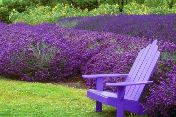 grow lavender plants