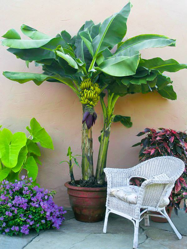 how to grow banana in pots_mini