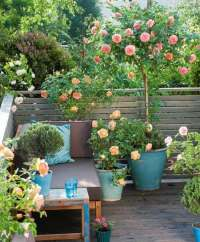 Small Rose Garden | Growing Roses in Containers (Balcony ...