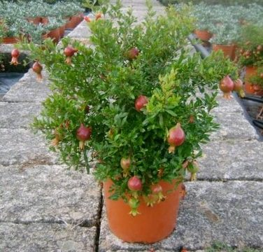 growing pomegranate trees in pots_mini