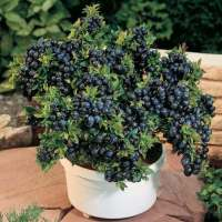 Best Fruits To Grow In Pots | Fruits For Containers ...