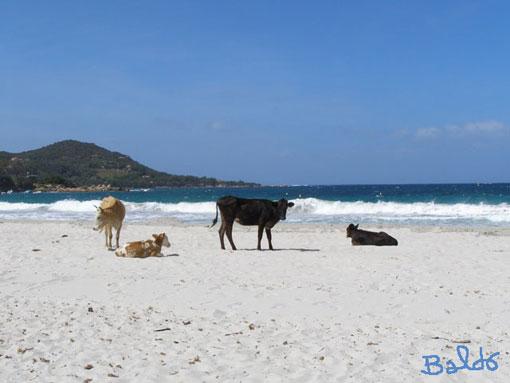 vache à la plage chez moi là-bas