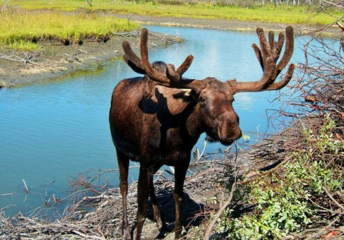 Free Images dot com Lisa Langell - resting-moose-1365528-639x565