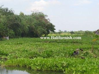 water-hyacinth-indonesia-b