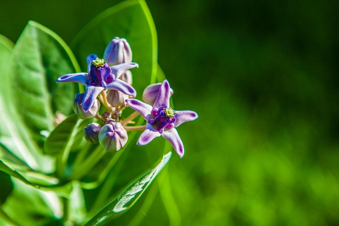 Bali-Tulamben-Flower