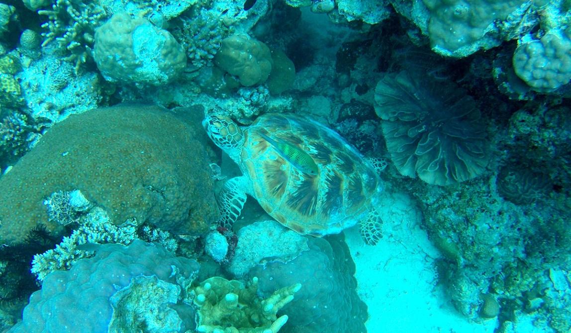 Semporna - Borneo - Malaysia - Island - Underwater - Turtle