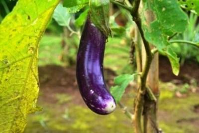 egplant