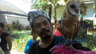 Foto-Tribun-Bali-Putu-Partayasa-Pegang-Burung-Hantu-Bernama-Jery-dengan-usia-7-bulan-di-Desa-Penebel-Tabanan