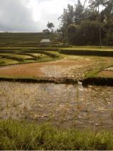 bali rice field trekking tour
