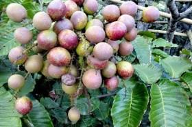 buah matoa berasal dari,matoa untuk ibu hamil,nah tuh buah matoa,matoa buahnya bumi cendrawasih,rasa buah matoa,gambar buah matoa,buah matua,