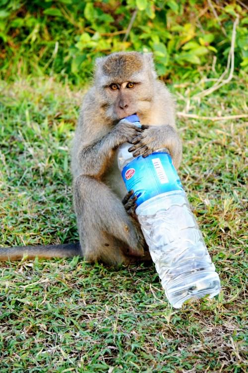 """Uluwatu - Ce petit singe tout """"mignon"""" avait chiper notre bouteille d'eau ! Normal."""
