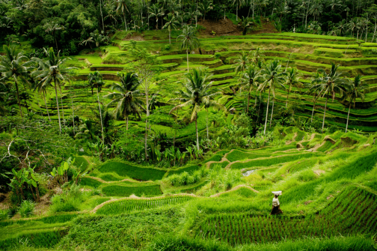 Tegallalang Rice Terrace by Edmund Lowe