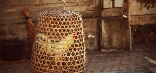 Coq en cage à Bali © Sue