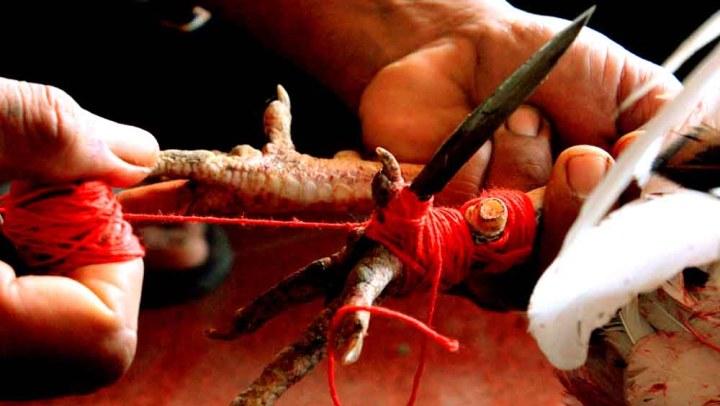 Taji pour les combats de coqs © Wdasmarafoto