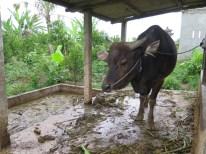 Balade dans les rizères de Langgahan avec Made Ocong - Balisolo (3)