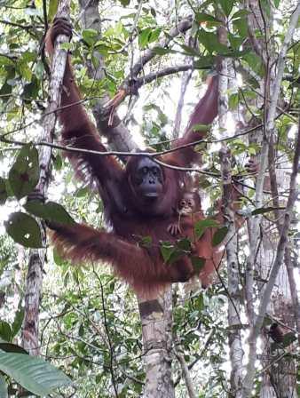 orang outan borneo