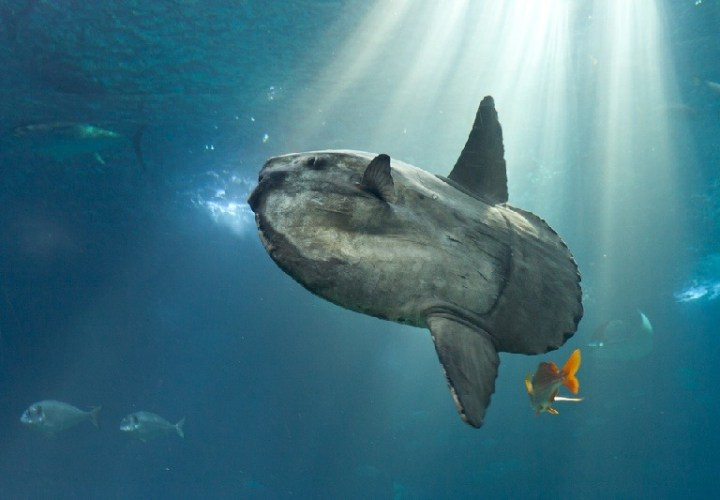 Fun diving with sunfish in Bali