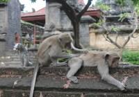 Unique Facts about Monkey Behavior in Uluwatu