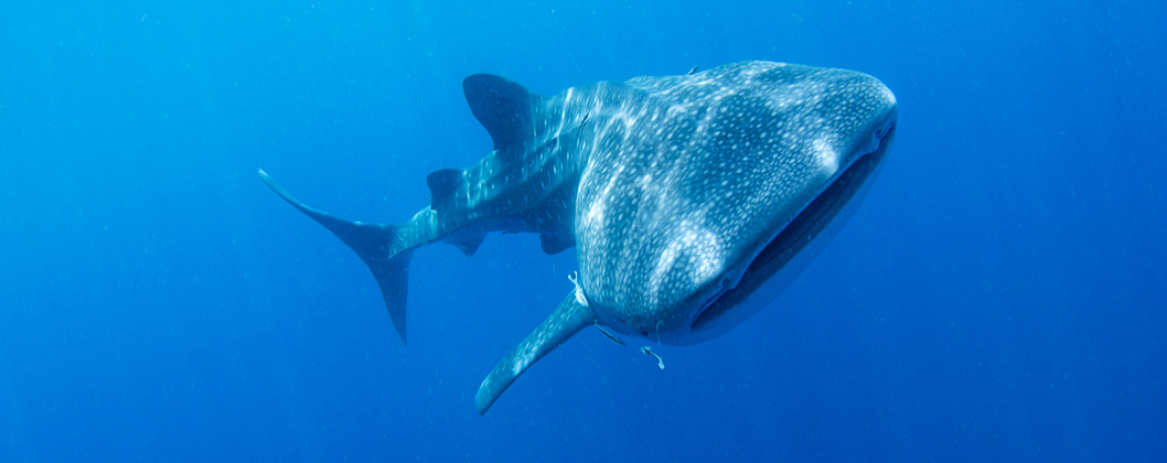 Whaleshark and sunlight, Cenderawasih Bay, Papua, Indonesia