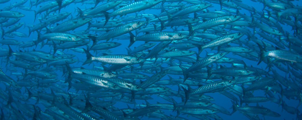 Chevron barracuda schooling in the blue, Halmahera, Indonesia