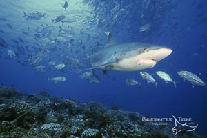 Silvertip Shark and Jacks
