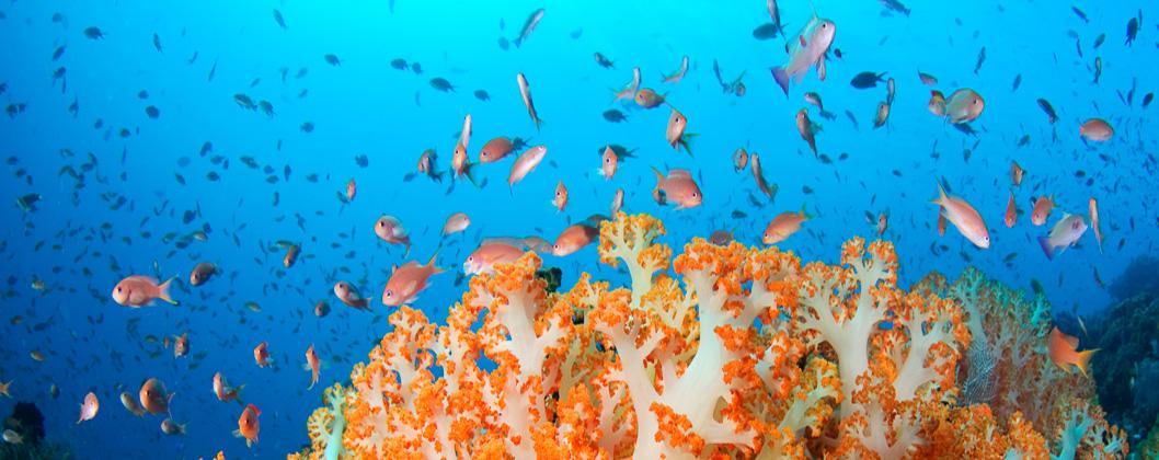 Anthias and orange soft coral, Tatawa Besar, Komodo National Park, Flores, Indonesia