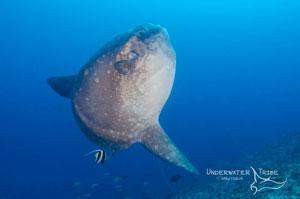 Mola mola or sunfish in Bali, Indonesia