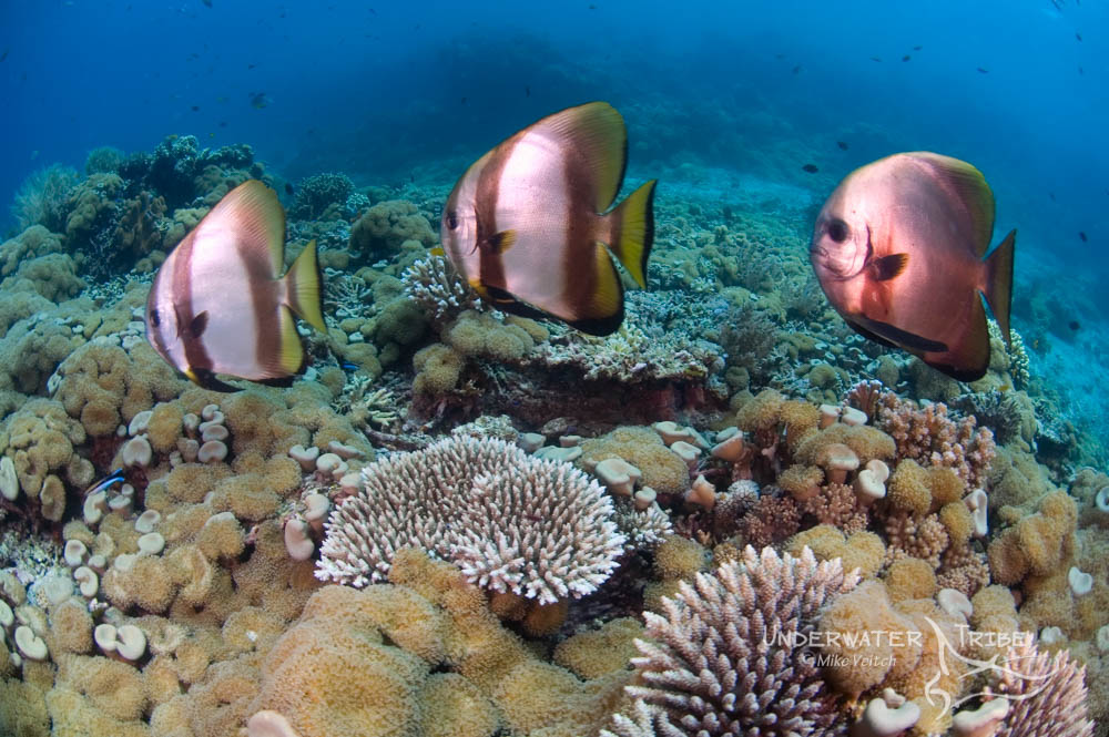 Batfish In Menjangan Bali Academy Of Uw