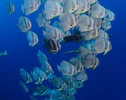 Raja Ampat Batfish