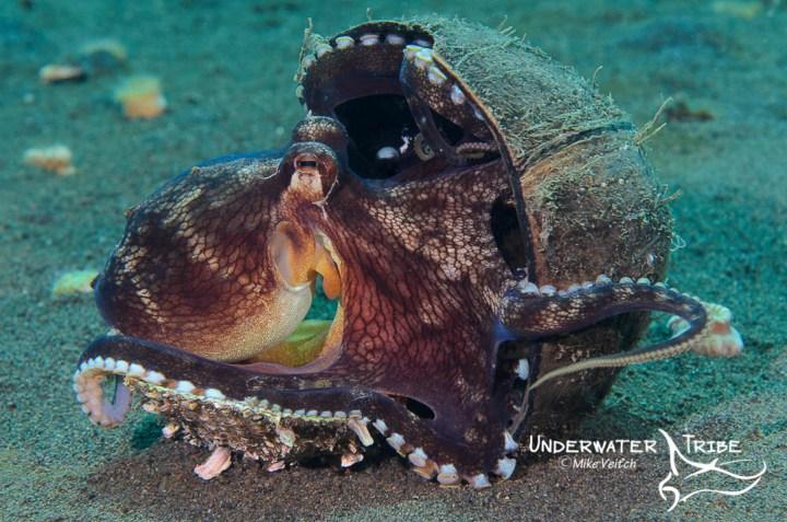 Coconut octopus Bali