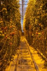 """Aufgrund der heissen Quellen kann die Wärme genutzt werden zur Aufzucht der Tomaten. Sie sind rot, obwohl sie nie die Sonne zu Gesicht bekommen. """"Das ist die Kombination von der natürliche Wärme, der fruchtbaren Erde und des reinen Quellwassers."""" Im Gewächshaus herrscht karibisches Klima: es ist warm und feucht. Bis zu 20 Zentimeter wächst eine Tomatenstaude pro Tag. Geerntet wird täglich frisch. Die Isländer stehen auf regional und sind sehr naturverbunden. Nachhaltigkeit wird groß geschrieben (Foto: Markus Hofmann/white-photo.com)"""