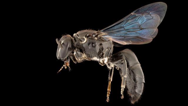 Bilim insanlarını şaşkına çeviren keşif: En son 1923'te görülen arı türü yeniden ortaya çıktı