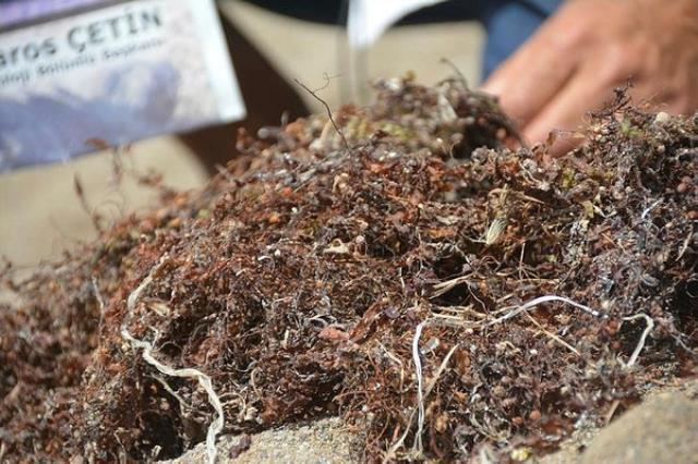 Sargassum yosun nedir?