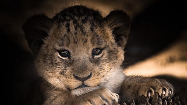 Nesebična ljubav: Ženka psa odgajila mladunče lava