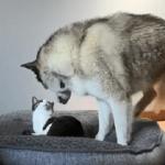 Kad haskiju mačak zauzme krevet