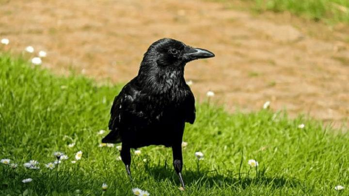 Da li znate kako se kaže: Gavran ili vrana?